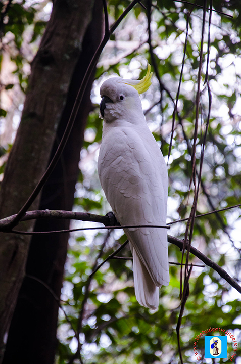 Resting cockatoo along the pass.