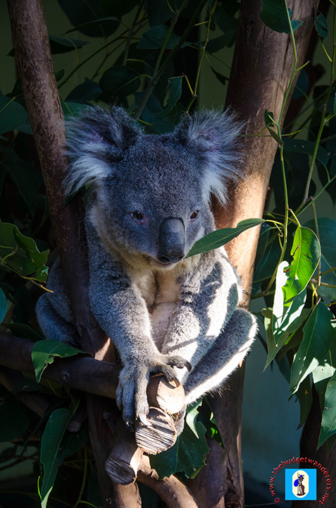 One of Australia's iconic animals, the Koala.