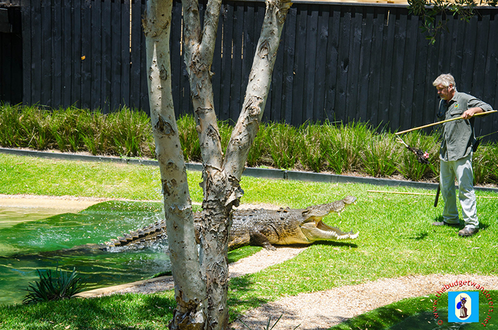 Crocodile show.