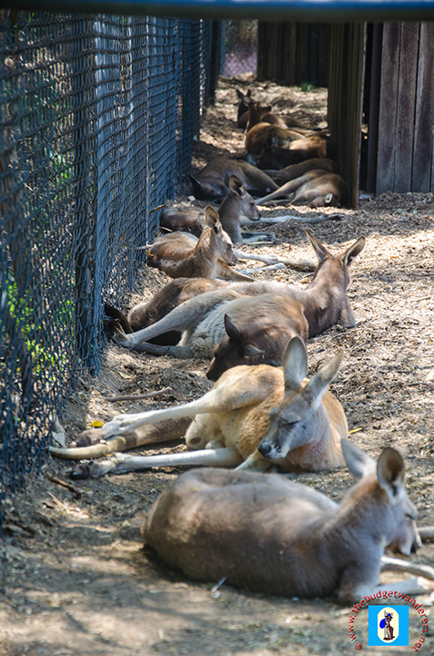 A group of resting kangaroos.